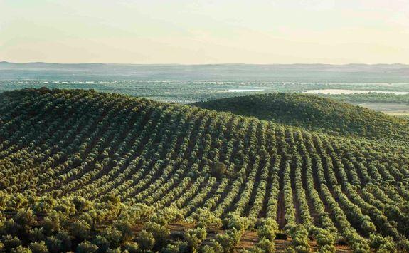 Olive Grove in Alentejo