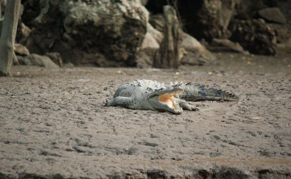 A crocodile at Sumidero National Park