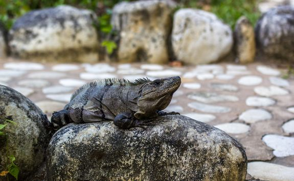 An iguana resting on a stone