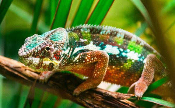 Chameleon on a tree