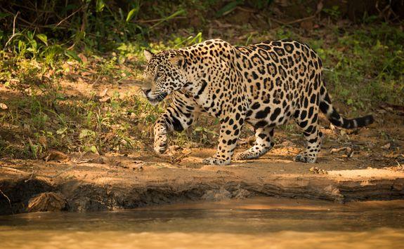 Jaguar by a River