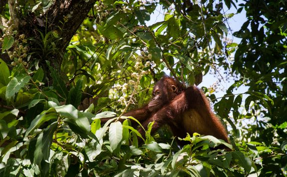 Orangutan in the rainforest