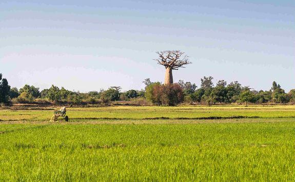 Baobab in rice field