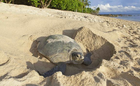 Turtle laying eggs