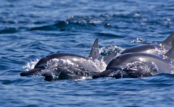 dolphins swimming