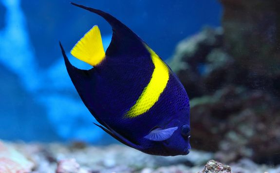 Koral Angelfish