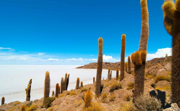 Cacti in the salt flats