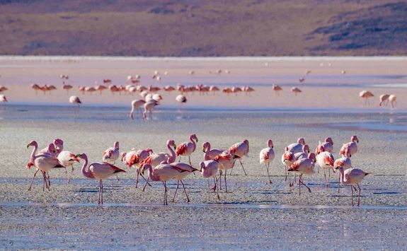 Flamingos on the Salt Flats