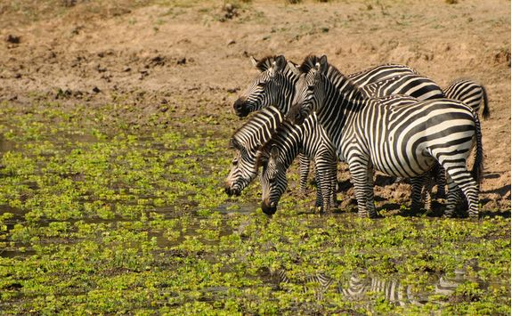 Zebra in the South Luangwa