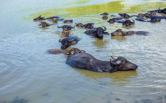 Water buffalos in river