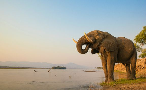 Elephant by a River