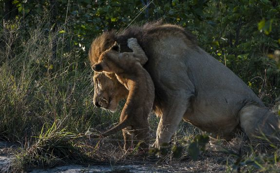 Lion and a Cub