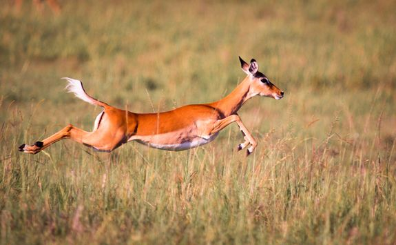 An Impala sprinting