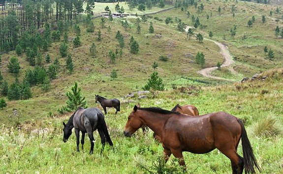 horses in pampas