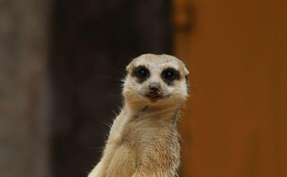 Meerkat at Toronga Zoo