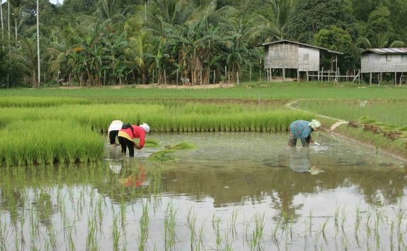 Malaysian rice farmers