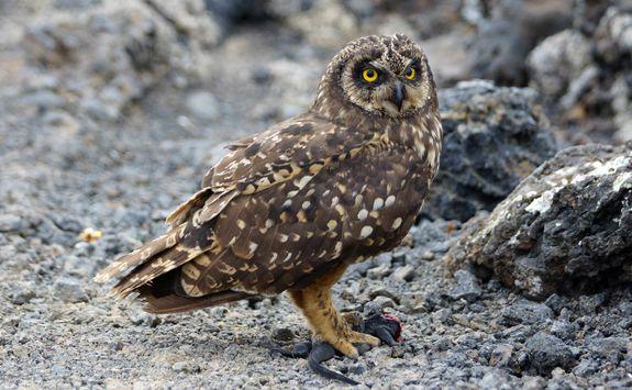 Galapagos Short-Eared Owl