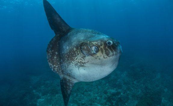 Galapagos sunfish