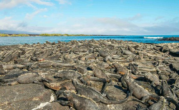 Mass of marine iguanas