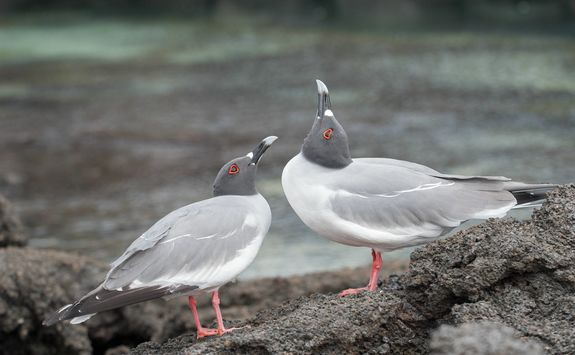 Swallow tailed gulls