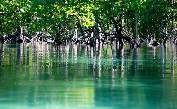 Mangroves in Burma