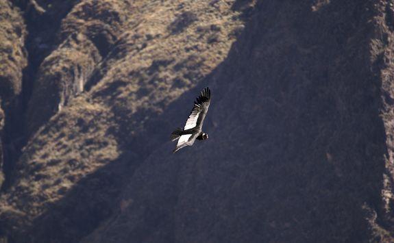 Condor cross