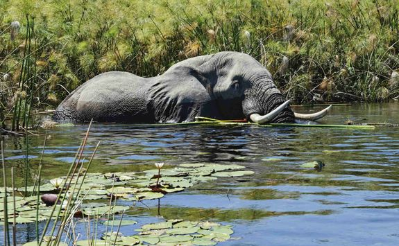 elephant submerged in water