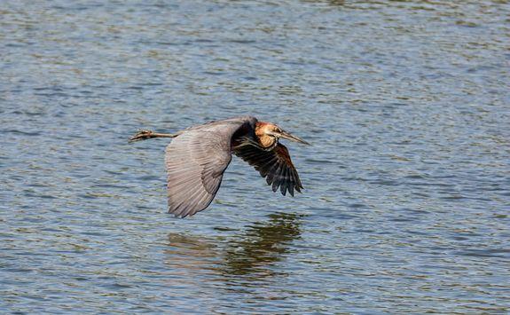 Goliath Heron Flying