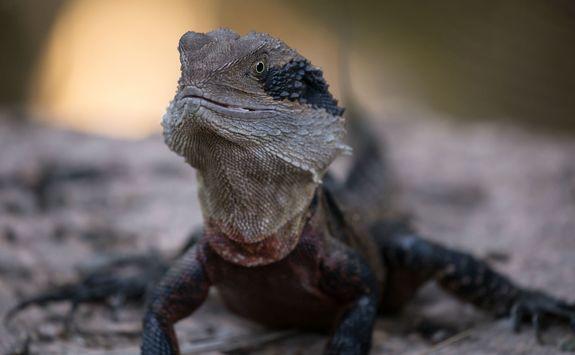 Australian Eastern water dragon