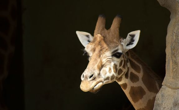 Giraffe at a Zoo