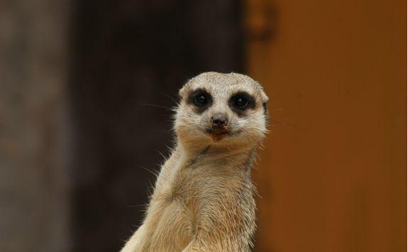 Meerkat at a Zoo
