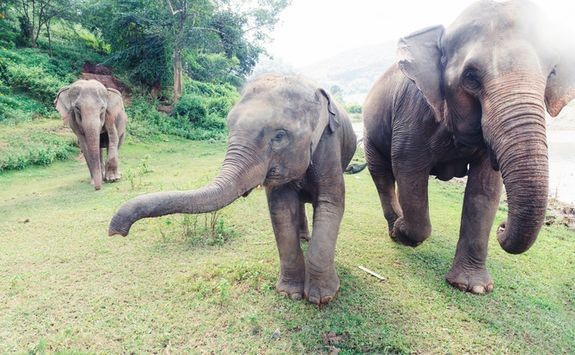 Elephants running in Chiang Mai