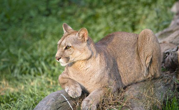 Mountain Puma