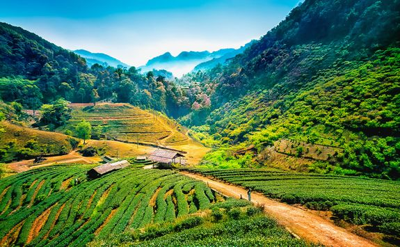 Angkhang tea plantations