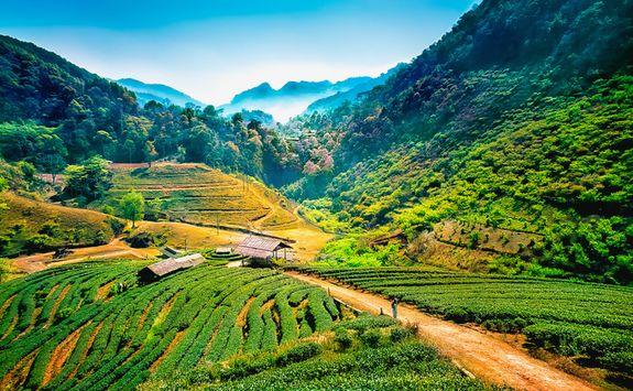 Angkhang tea plantations