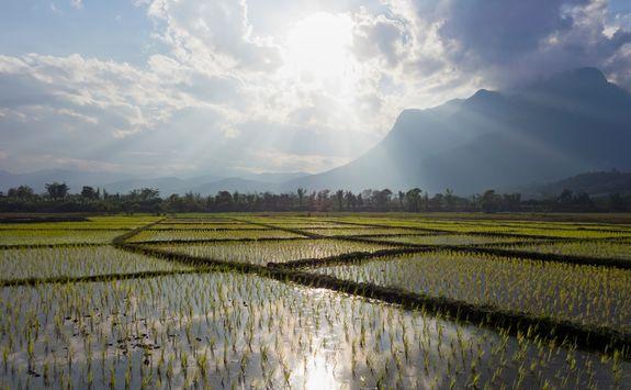 Paddy fields in Chiang Mai