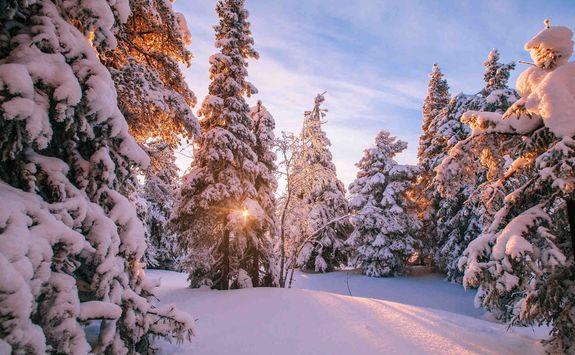 Snowy trees in lapland