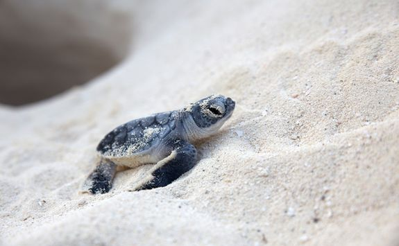 baby turtle on a beach