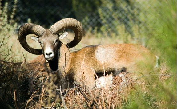 Mouflon in the Mountains