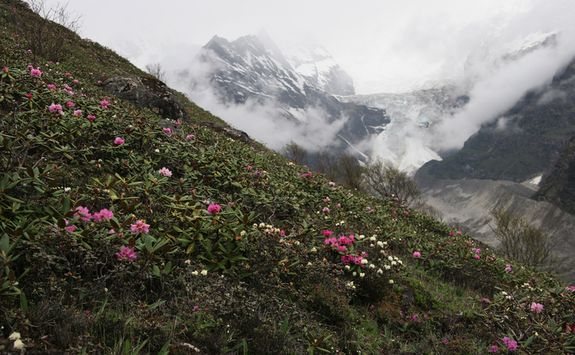 Rhododendrons, Bhutan