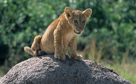 Baby lion on rock
