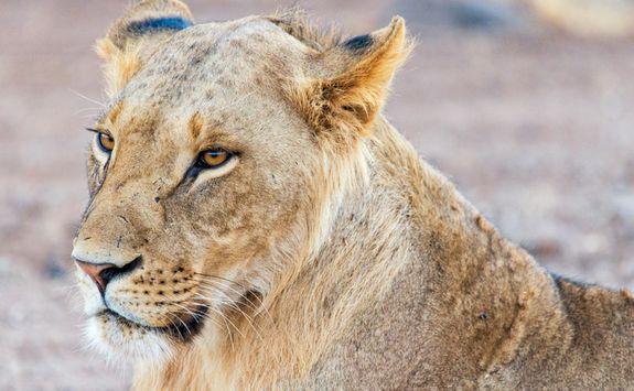 Lion Samburu savannah