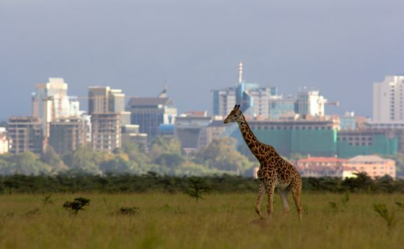 Nairobi skyline and giraffe