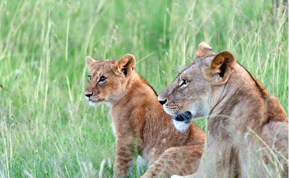Lion and cub in Kenya