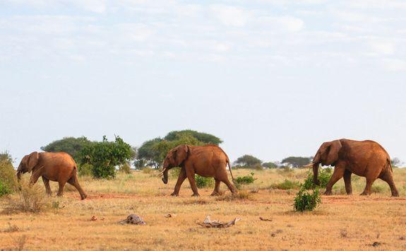 Red elephant in Kenya