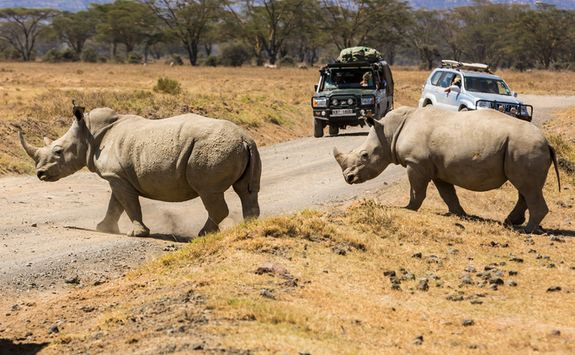 Rhinos and safari vehicle
