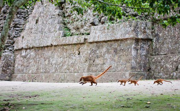 Tikal Pizote