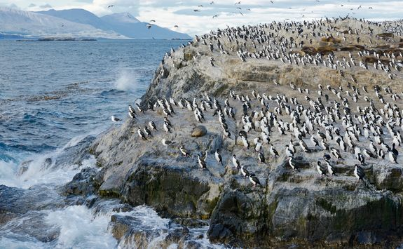 Penguins in Beagle Channel