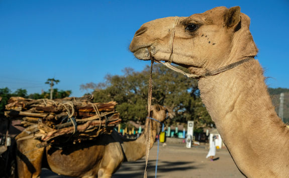 Camels in Axum