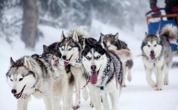 Huskies in Finland